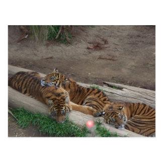 Tiger-Dreiergruppen Postkarte