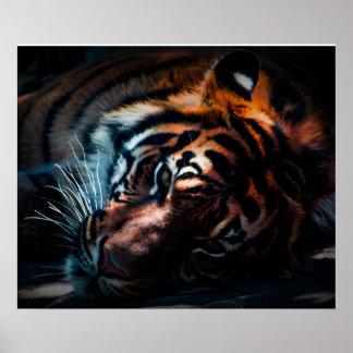 Tiger-Druck Poster