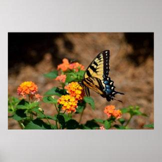 Tiger-Frack-Schmetterling Poster