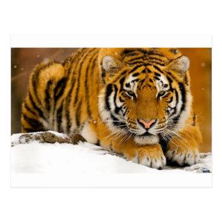 Tiger im Schnee bereit anzugreifen Postkarte