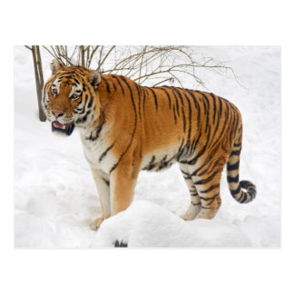 Tiger im Schnee Postkarte