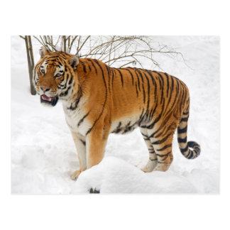 Tiger im Schnee Postkarten