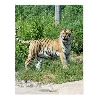 Tiger-Licht Postkarte