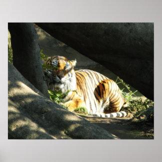 Tiger-Nickerchen Poster