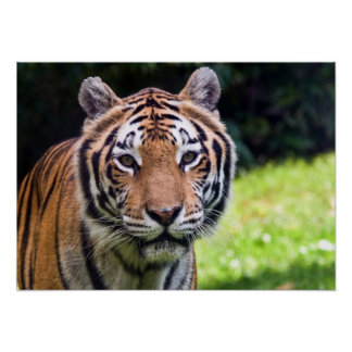 Tiger-Plakat