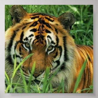 Tiger-Porträt Poster