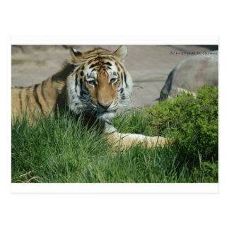 Tiger-Pose Postkarte