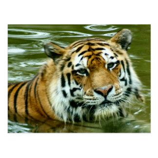 Tiger Postkarte