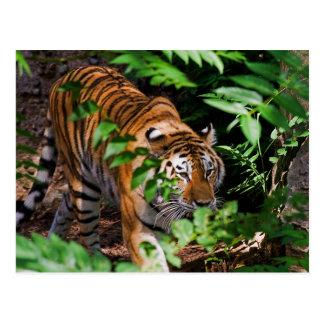 Tiger-Postkarte Postkarte