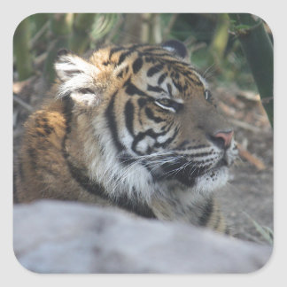 Tiger Quadratischer Aufkleber