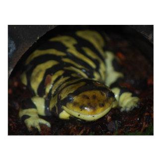Tiger Salamander Postkarte