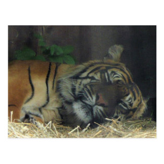 Tiger-Schlafen? Postkarte