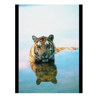 Tiger-Schwimmen Postkarte