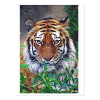 Tiger-Starren Postkarte