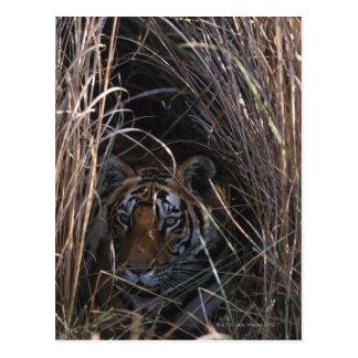 Tiger stützt in hohes Gras Postkarte