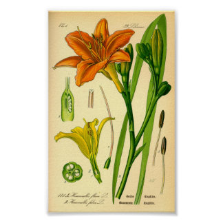 Tiger-Taglilie (Hemerocallis fulva) Poster