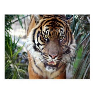Tiger Zazzle Produkte Postkarte