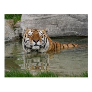 Tigerpostkarte Postkarte