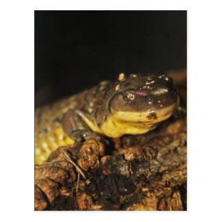 TigerSalamander Postkarte