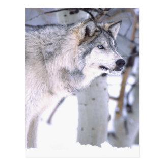 Timberwolf, Canis Lupus, Film Tierutah) Postkarte