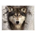 Timberwolf durch Jim Zuckerman Postkarte