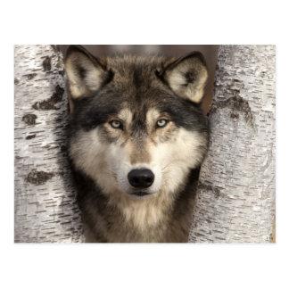 Timberwolf durch Jim Zuckerman Postkarten