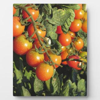 Tomate-Pflanzen, die im Garten wachsen Fotoplatte