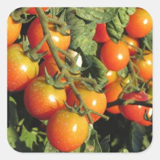 Tomate-Pflanzen, die im Garten wachsen Quadratischer Aufkleber