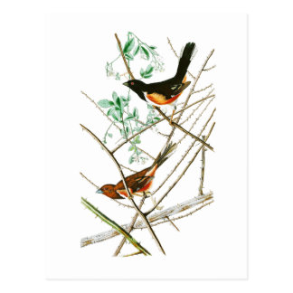 Towhe, das John James Audubon-Vögel von Amerika Postkarte