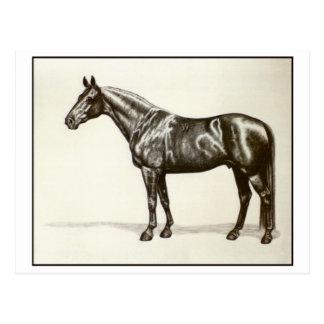 Trakehner Stallion Postkarte