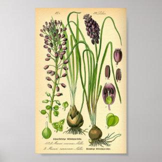 Trauben-Hyazinthe (Muscari neglectum) Poster