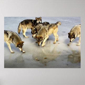 Treffen Sie den Wolfsrudel Plakate
