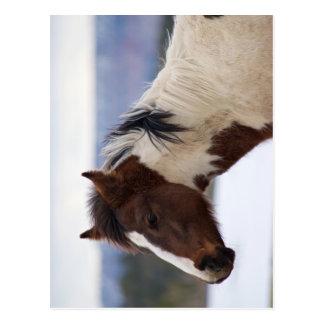 Tri Farbiges Pferd Postkarte