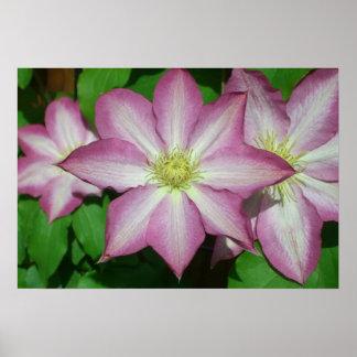 Trio der Clematis-rosa und weißen Frühlings-Blumen Poster