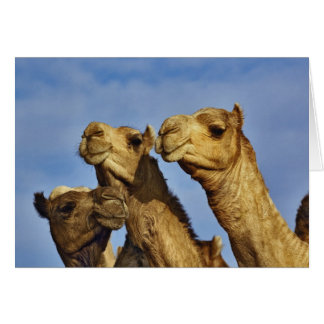 Trio der Kamele, Kamelmarkt, Kairo, Ägypten Grußkarte