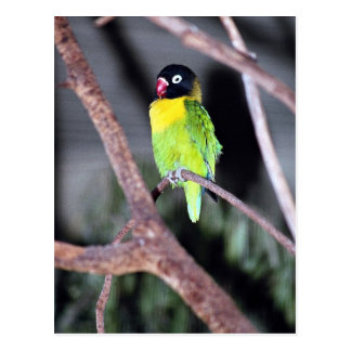 Tropischer verdeckter Lovebird Postkarte