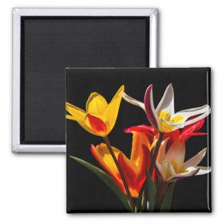Tulpe-Blumen gegen schwarzen Hintergrund Quadratischer Magnet