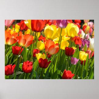 Tulpe-Garten im Früjahr Poster