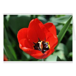 Tulpe-Vorstellung Karte