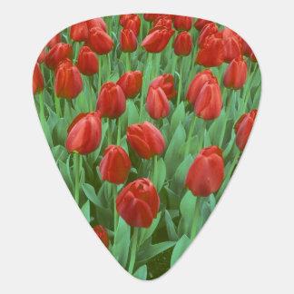 Tulpefeldblüte im Früjahr. Plektron