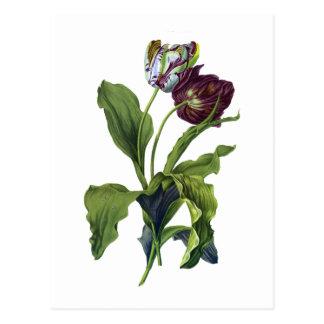 Tulpen gezeichnet von der Natur von Gerard van Postkarte