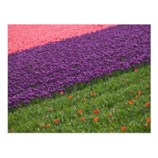 Tulpen in Keukenhof Gärten, Amsterdam, 3 Postkarte