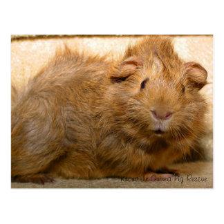 Überraschte Meerschweinchen-Postkarte Postkarten