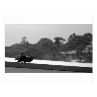 Umwerbende Tauben Postkarte