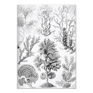 Unkräuter Ernst Haeckels Fucoideae! Karte