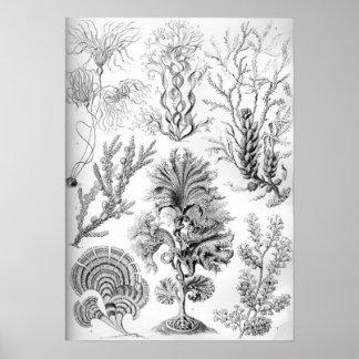 Unkräuter Ernst Haeckels Fucoideae! Poster