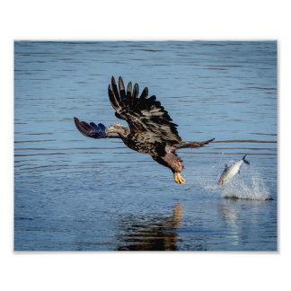 Unreifer Weißkopfseeadler, der einen Fisch Fotodruck