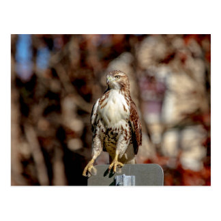 Unreifes Rot angebundener Falke Postkarte
