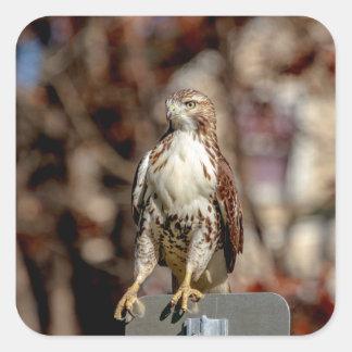 Unreifes Rot angebundener Falke Quadratischer Aufkleber