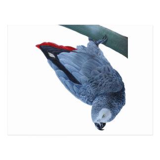Ursprüngliche Papageiengeschenke des afrikanischen Postkarte
